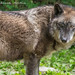 Timber Wolf by Dr. Ilia