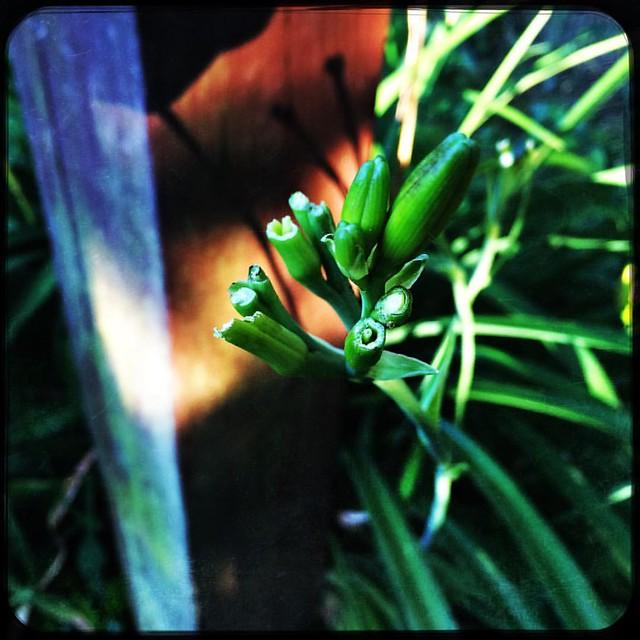 Damn Deer #daylily #daylilies #patiogarden #garden #damndeeratemydaylilies