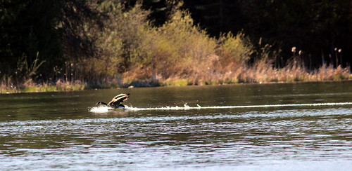 canadageese04