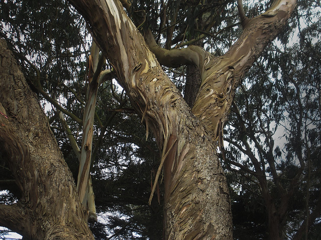 Eucalyptus tree in Golden Gate Park, San Francisco.  May 6, 2013