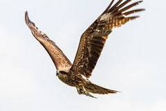 harrier, animal, hawk, bird of prey, falcon, eagle, wing, fauna, buzzard, bald eagle, accipitriformes, kite, beak, bird,