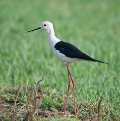 animal, fauna, ciconiiformes, stilt, shorebird, beak, bird, wildlife,