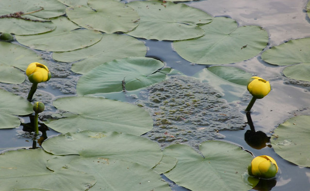 waterlilies2