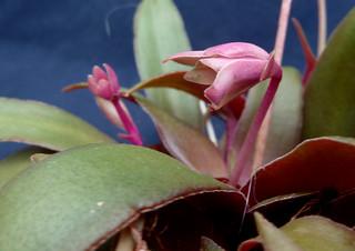 Crassula orbicularis 'Rosularis' 8837267858_686d94085f_n
