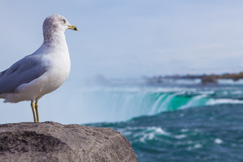 Bird to see a Niagara Falls