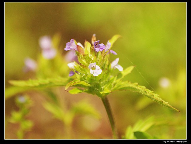 2013-06-02-P6022800-Wild basil (Clinopodium vulgare)