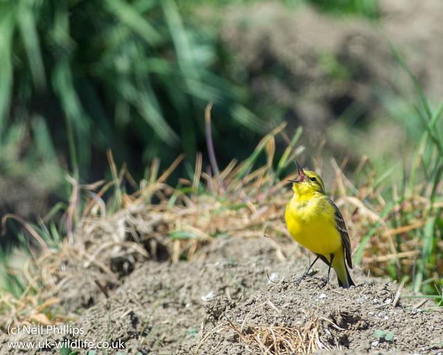 Yellow wagtail Motacilla flava-6