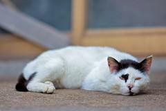 藍島の猫 20130513 #1