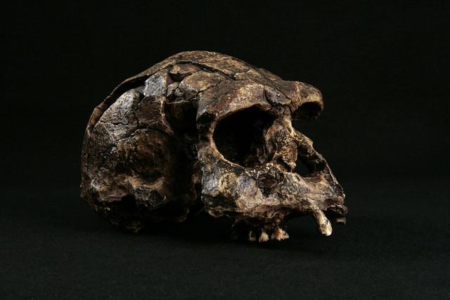 Hominid_Skull-Homo_Erectus-Sangiran_17_033.jpg