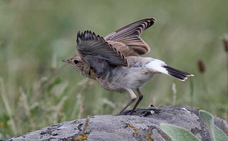 Isabelline Wheatear - showing it's young feathers and classic rump