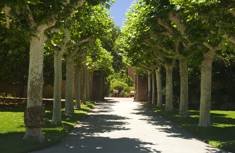 filoli pleached trees