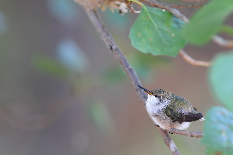 Black Chinned Hummingbird baby 081313