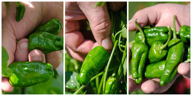 Picking Padron Peppers
