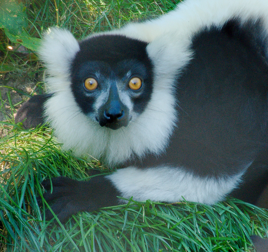 Black-and-white Ruffed Lemur (Varecia variegata)_1