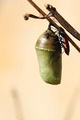 Chrysalis & Milkweed Bug