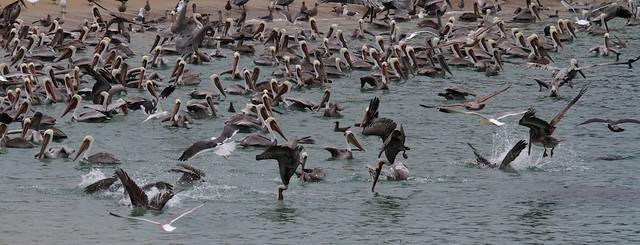 Pelicans diving