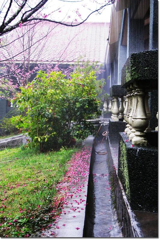 雨打武陵山櫻 3