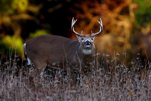 Sniff Sniff - White-tailed deer, Ottawa, Ontario