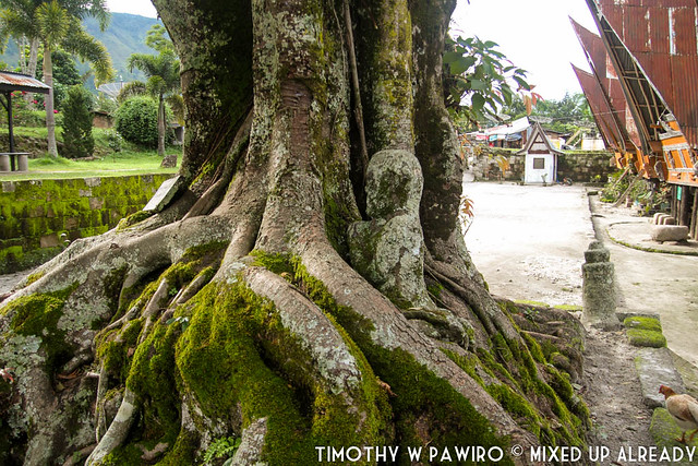 Indonesia - North Sumatra - Medan - Stone Chair of King Siallagan - Batak Traditional Village - Stone chair area - The tree where the shaman asks guidance from the spirit