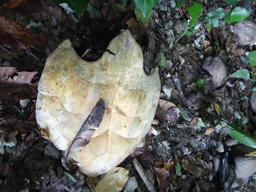 棄置於密林中的玳瑁腹甲(圖片攝影:陳柏豪)