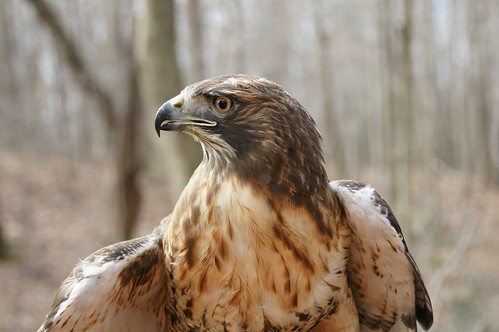 Oz - Male Red Tail Hawk