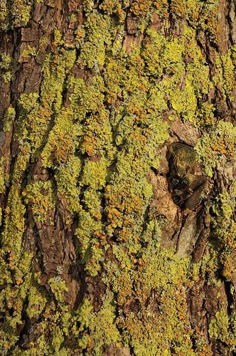 Gewöhnliche Gelbflechte (Xanthoria parietina) auf einem Weiden-Stamm in Treia an der Treene (65)