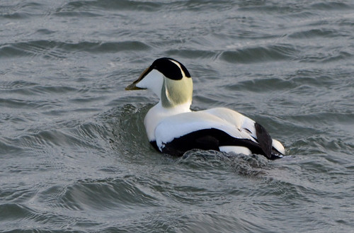 Eider Duck - Gourdon