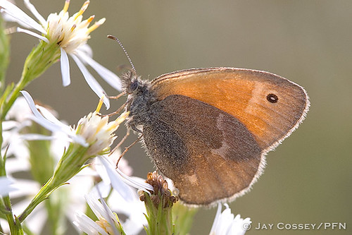 brown butterfly adult roadside 401 insecta londonon brushfoot lepidopterabutterfliesmoths prairiemeadow photographerjaycossey