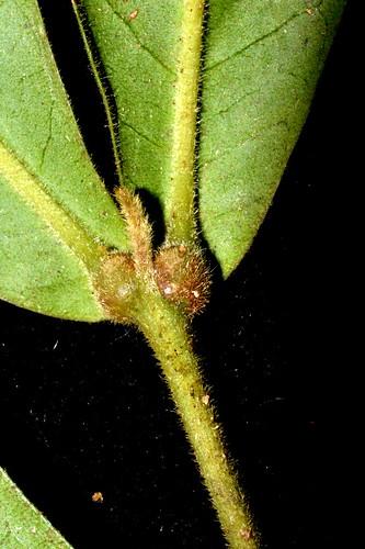 Sarcotoechia villosa DSC_0396 (8)