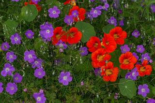 nasturtiums  and purple