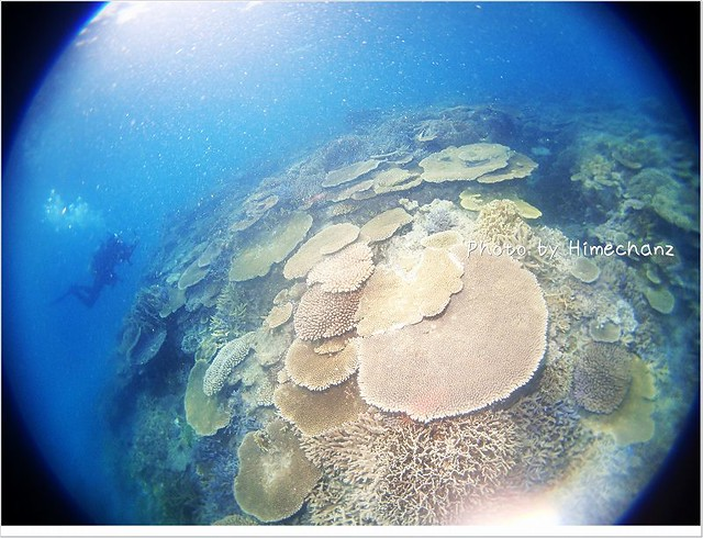 サンゴ達の大きいこと!