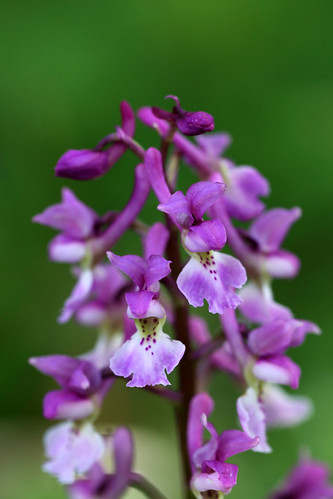 Early Purple Orchid, Orchis mascula