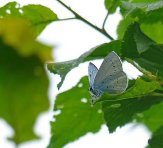 Boomblauwtje