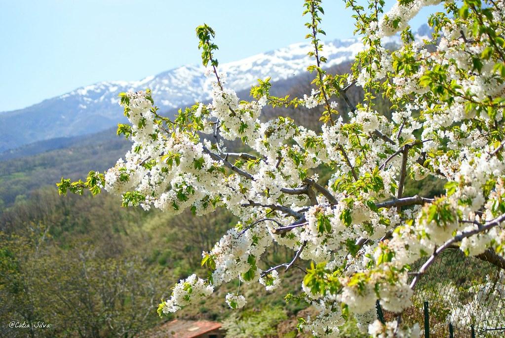 Extremadura-Valle del Jerte-Cerezo en Flor (13)