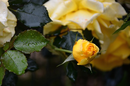 Wet spring yellow roses