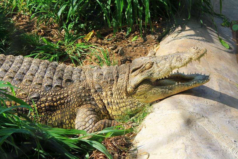 Crocodile - Cameroon