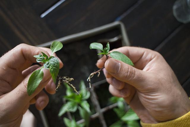 Pepper Plant That Wont Die_1