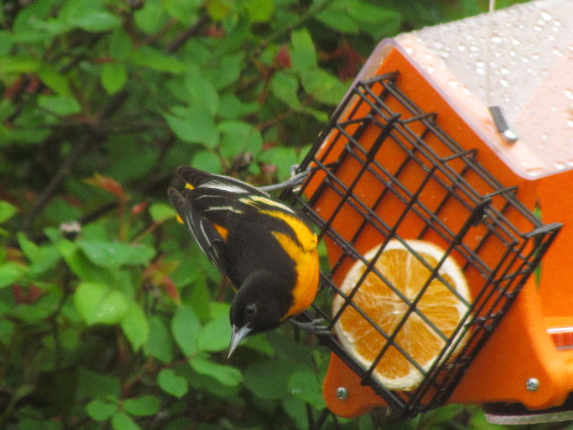 Oriole straddle 5:3:12