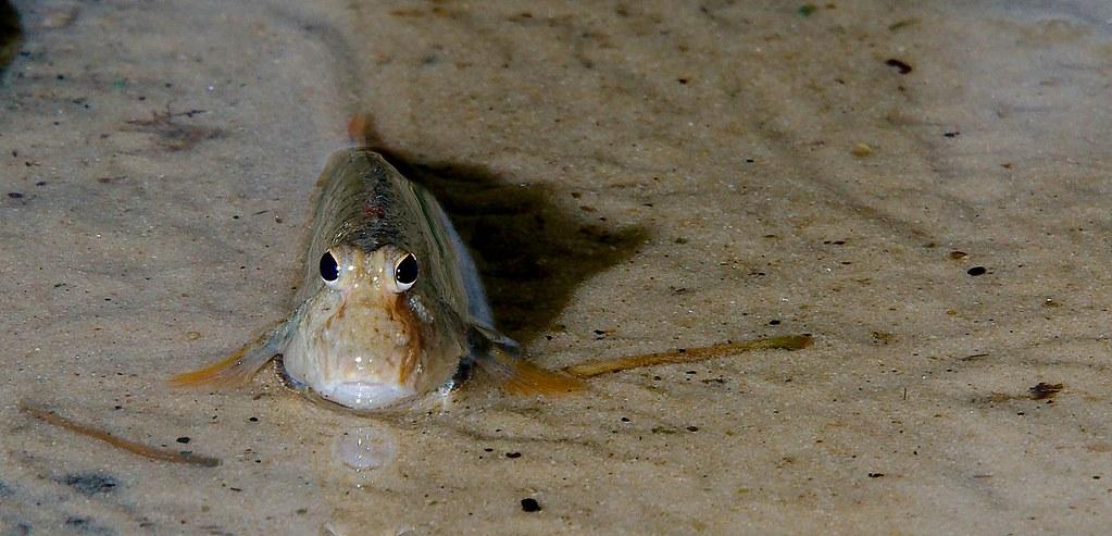 Mudskipper (Periophthalmini)_9
