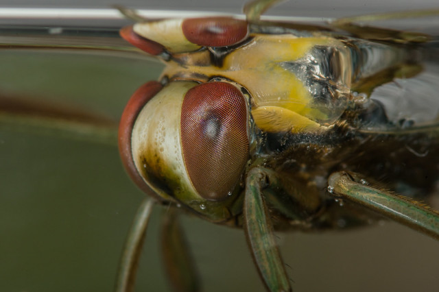 Common backswimmer