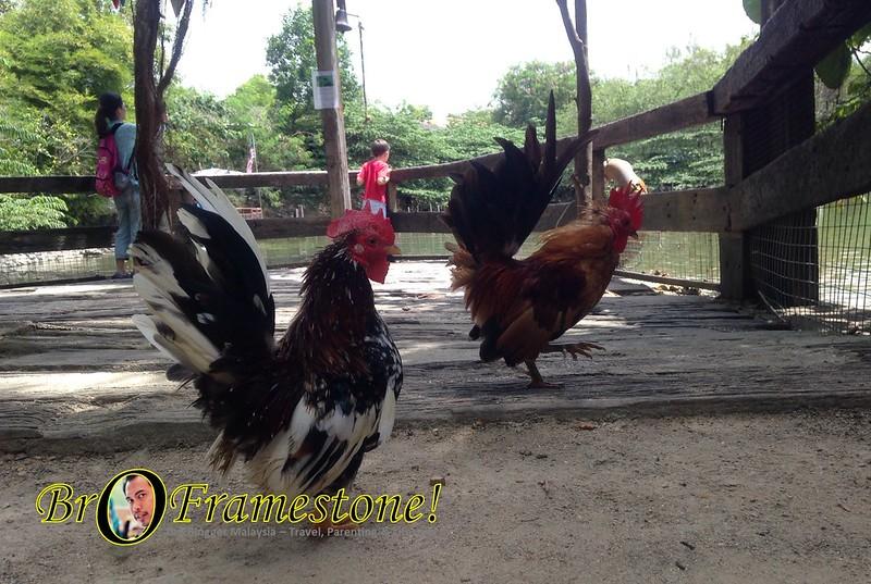 Ayam Serama Kebun dalam Taman Farm in The City, Seri Kembangan - Kelab Blogger Ben Ashaari
