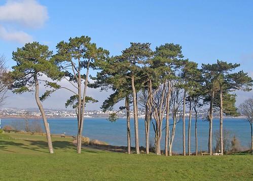 Pine trees at Roundham Head, Paignton