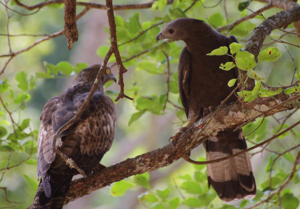 Oriental Honey-buzzards(female(L) and male(R))