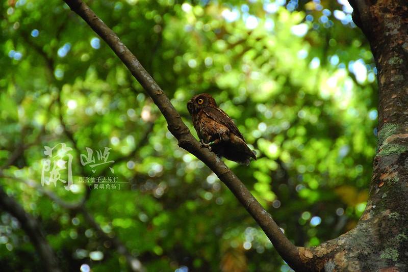 蘭嶼角鴞-白天
