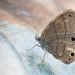 Satyr Butterfly by jciv