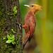 Chestnut-colored Woodpecker, Costa Rica by www.juancarlosvindasphoto.com