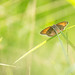 Small heath butterfly by Bart Hardorff