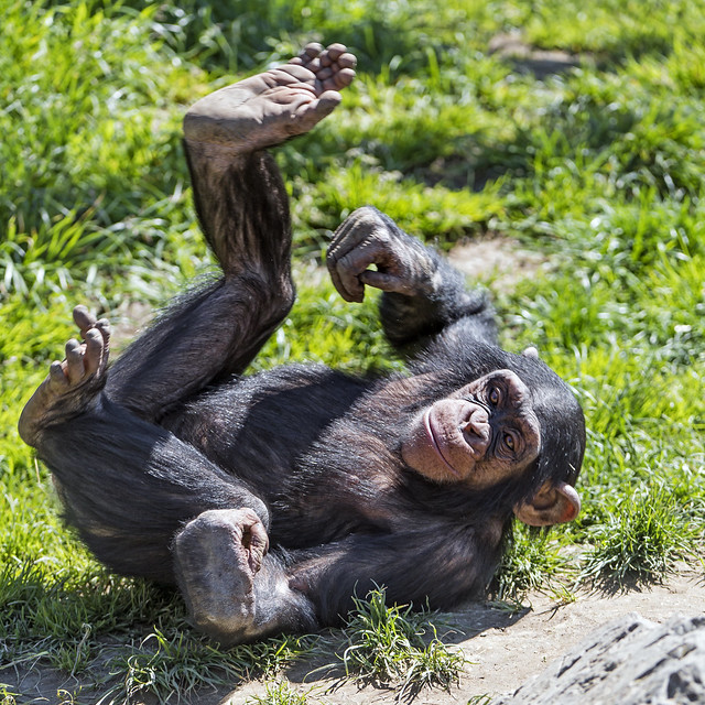 Funny young chimp rolling