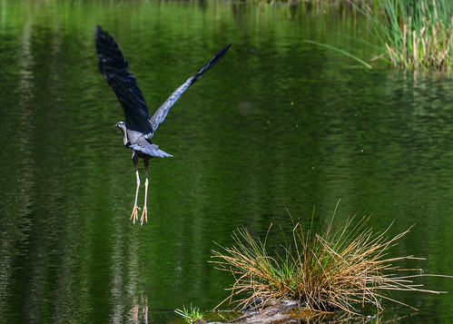 <p><i>Ardea herodias</i>, Ardeidae<br /> Maplewood Conservation Area, North Vancouver, British Columbia, Canada<br /> Nikon D5100, 70-300 mm f/4.5-5.6<br /> May 5, 2013</p>