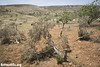 Trees cut down by Israeli settlers, Deir Jarir, West Bank, 23.5.2013
